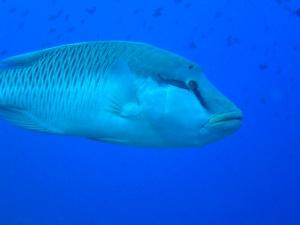 071203_napoleon_fish_at_blue_corner