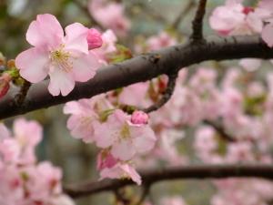 20110213_cherry_blossom1