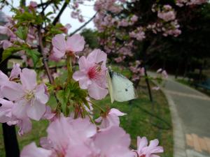 20110213_cherry_blossom2