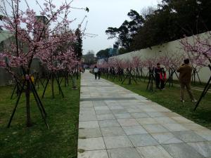 20110213_cherry_blossom3