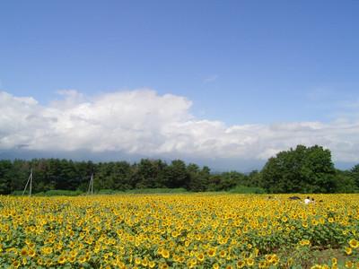 20060819_sunflower01