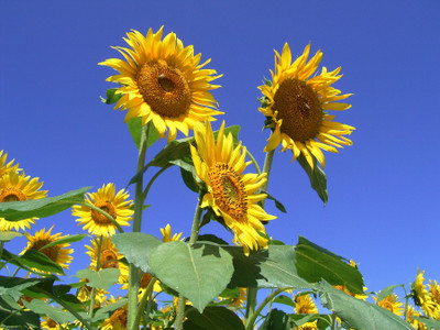 20060819_sunflower02