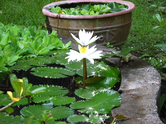 090508_bali_lotus