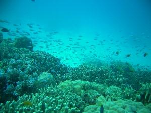 071207_palau_coral02